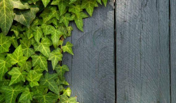 piante-rampicanti-per-la-veranda